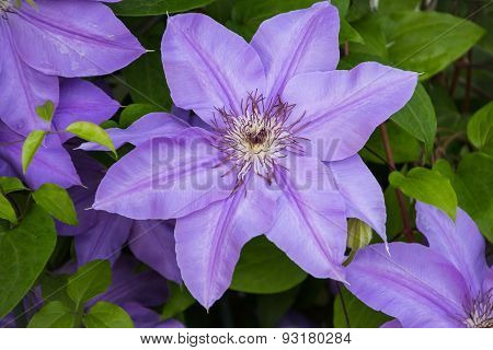 Purple Clematis flowers on vine