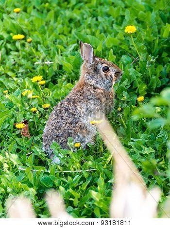 Wild rabbit on Grass