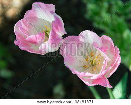 Tulip Flowers During Spring Season