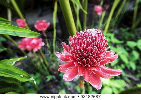 Tropical Red flower of etlingera elatior.