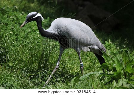 Demoiselle crane (Anthropoides virgo), also known as the blue crane.