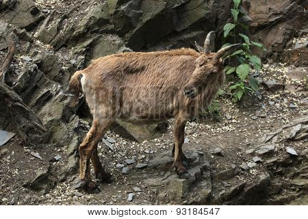 Female West Caucasian tur (Capra caucasica), also known as the West Caucasian ibex. Wildlife animal.