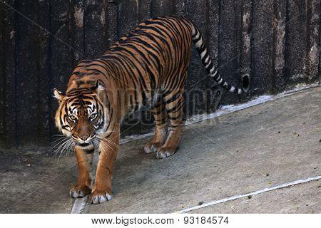 Sumatran tiger (Panthera tigris sumatrae). Wildlife animal.