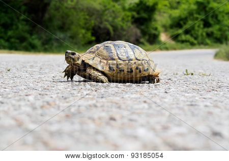 Turtle On Asphalt Road.
