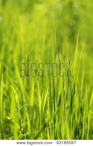 Beautiful Green Grass