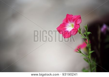 Beautiful pink flower and concrete background. Periwinkle flower.