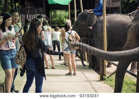 Tourism feeding the elephant banana before elephant show.