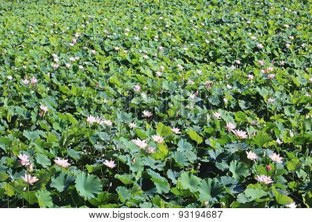 Lotus flowers and buds