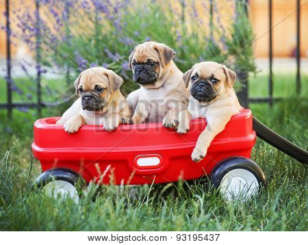 Three  pug chihuahua mix - chug-  puppies  in a red wagon (VERY SHALLOW DOF - on the eyes)