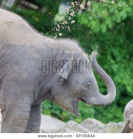 Baby Elephant Playing
