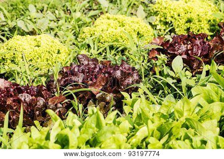 Fresh Cabbage Lettuce On Field