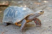 picture of tortoise  - photo of  redfoot tortoise with nature background - JPG