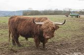 stock photo of highland-cattle  - It is image of unique highland cattle - JPG