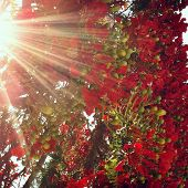 picture of angiosperms  - Blooming branch of flame tree with solar patch of light close up - JPG
