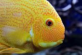 image of freshwater fish  - Tropical freshwater fishes of Venezuela and Paraguay - JPG