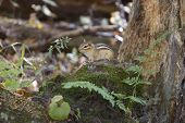 foto of chipmunks  - The funny cute little chipmunk is watching at you - JPG