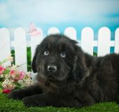 stock photo of newfoundland puppy  - Very cute Newfoundland puppy laying in the grass outdoors with flowers and a white picket fence behind her - JPG