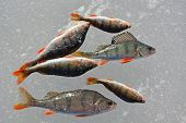 picture of ice fishing  - Perch fish on the ice - JPG