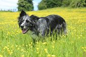 image of collie  - Blue merle border collie crouching in summer grass - JPG