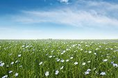 picture of flax plant  - blooming blue flax in a farm field - JPG