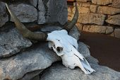 picture of cow skeleton  - A cow skull on rocks - JPG