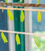 stock photo of stick-bugs  - image of Butterfly Pupa hang on wooden stick - JPG