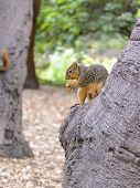 picture of ground nut  - A North American squirrel eating ground nuts while perched on a tree - JPG