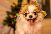 picture of long hair dachshund  - Long Haired Chihuahua at Christmas in front of tree with lights. ** Note: Visible grain at 100%, best at smaller sizes - JPG