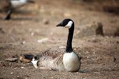 image of canada goose  - Canada goose  - JPG