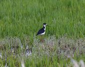 picture of wetland  - A single Black - JPG