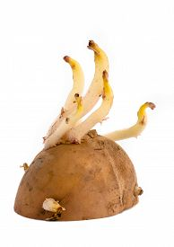 picture of germination  - germinating potato with sprout on the white background - JPG