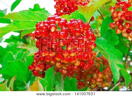 large bouquet of red viburnum berries on a branch among green leaves ripening in late summer