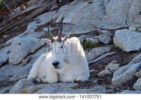 Wild White Mountain Goat. Enchantment Lakes near Leavenworth and Seattle, WA.
