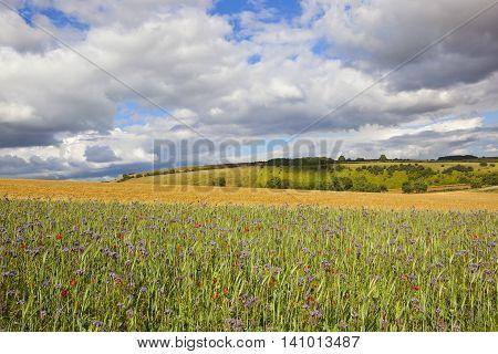 Phacelia And Poppies