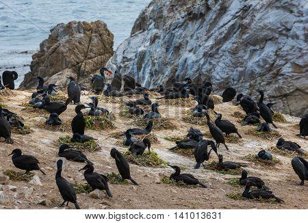 Brandt's Cormorant.phalacrocorax Penicillatus Point Lobos Bird Island