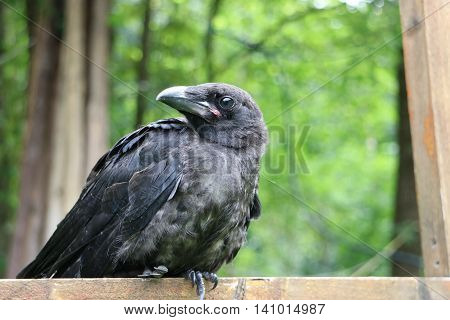 Young Black raven on the tree, close-up