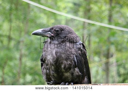 Royal Black Raven, Closeup