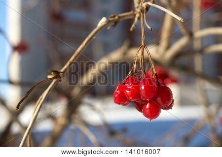 Red berries of viburnum  at the winter