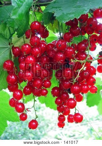 Red Currant