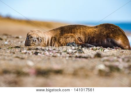 Male Sea Lion Relaxing On The Beach