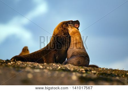 Sea Lion On The Beach In Patagonia While Kissing