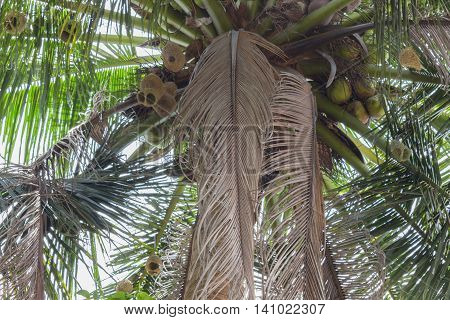 Dried coconut leaves on the tree. select focus front