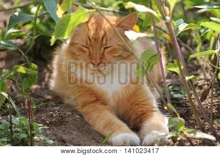 beautiful ginger cat with smile on mug lazy lay under flowers take rest in summer day