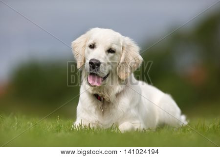 Happy And Smiling Golden Retriever Dog