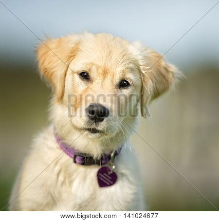 Cute Young Golden Retriever Puppy