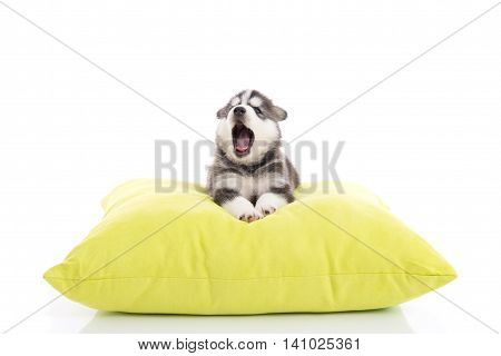 Cute siberian husky puppy yawning on a green pillowwhite background isolated