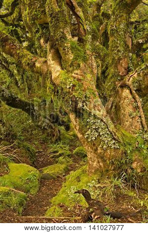 Twisted fairy tale trees in Kamahi Forest on the of Mt Egmond North Island New Zealand