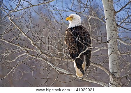 Mature Bald Eagle perched in Poplar Tree