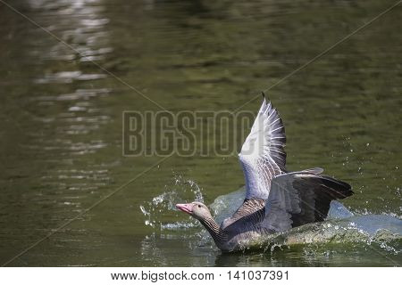 Greylag goose(Anser anser) swimming in a pond