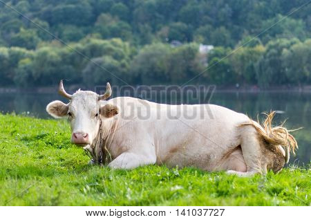 cow grazing in a meadow summer, farm